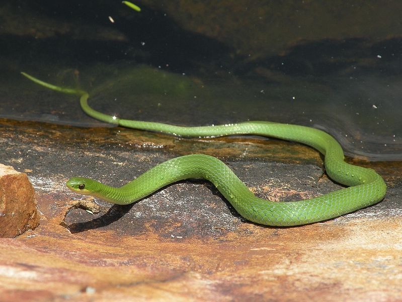 799px-Smooth_Green_Snake